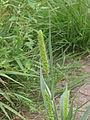 Groene naaldaar aarpluim (Setaria viridis).jpg