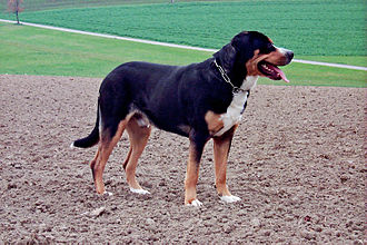Drafting dog - A Full Grown Greater Swiss Mountain Dog. A drafting dog breed.