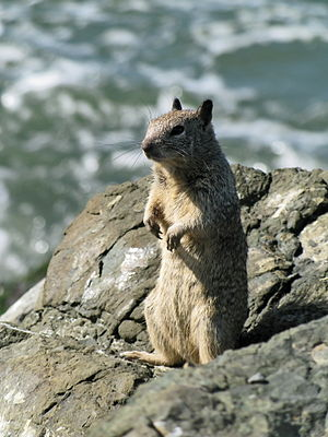 Ground squirrel - California ground squirrel (Otospermophilus beecheyi) in the man-made rocky shoreline of the Berkeley Marina: The numerous crevices offer safety and shelter.