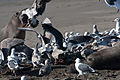 Gulls feeding on Elephant Seal afterbirth.jpg