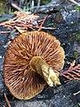 Gymnopilus parvisquamulosus Hesler 471918.jpg