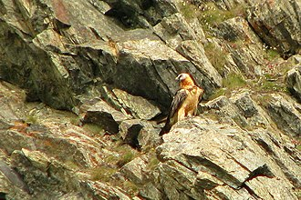 Bearded vulture - Bearded vulture on the rocks in Gran Paradiso National Park.