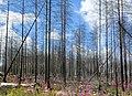 Hälleskogsbrännan juli 2016 (3589).jpg