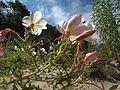 H20130803-9383—Oenothera deltoides ssp howelli—RPBG (14908317641).jpg
