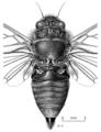 HEMI Cicadidae Maoricicada hamiltoni m.png