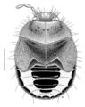 HEMI Cydnidae Choerocydnus nigrosignatus 2.png