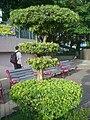 HK Aberdeen Promenade Tree Cutting Art Bonsai.JPG