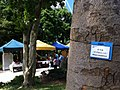 HK Central 香港公園 Hong Kong Park tree 非洲桃花心木 Khaya senegalensis trunk view sunday stalls Nov-2013.JPG