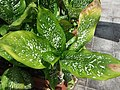 HK Mid-levels High Street clubhouse green leaves plant February 2019 SSG 21.jpg