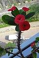 HK TKL 調景嶺 Tiu Keng Leung view 翠嶺路 Chui Ling Road 鐵海棠 green plant n red flowers 虎刺梅 Euphorbia milii May 2018 IX2 04.jpg