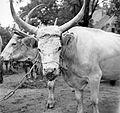 Hackery, cattle Fortepan 5274.jpg