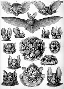 gravure représentant nombreuses têtes de chauves-souris au masque compliqué