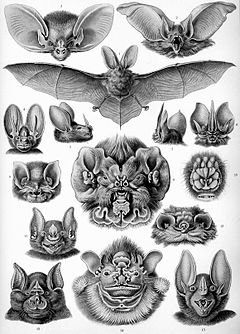 """Chiroptera"" from Ernst Haeckel's Artforms of Nature, 1904"