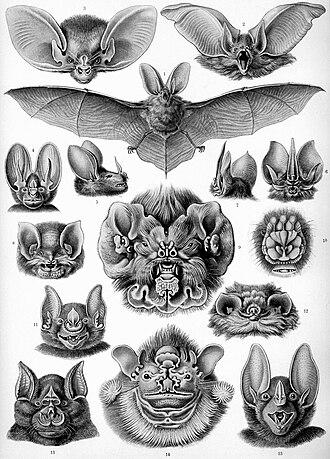 """Bat - """"Chiroptera"""" from Ernst Haeckel's Kunstformen der Natur, 1904"""