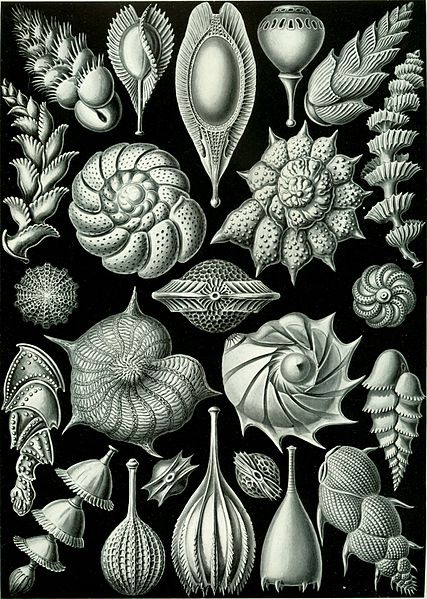 From Wikipedia: Haeckel_Thalamophora_81.jpg