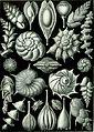 Haeckel Thalamophora 81.jpg