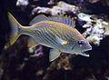 Haemulon flavolineatum Aquarium tropical du Palais de la Porte Dorée 10 04 2016 1.jpg