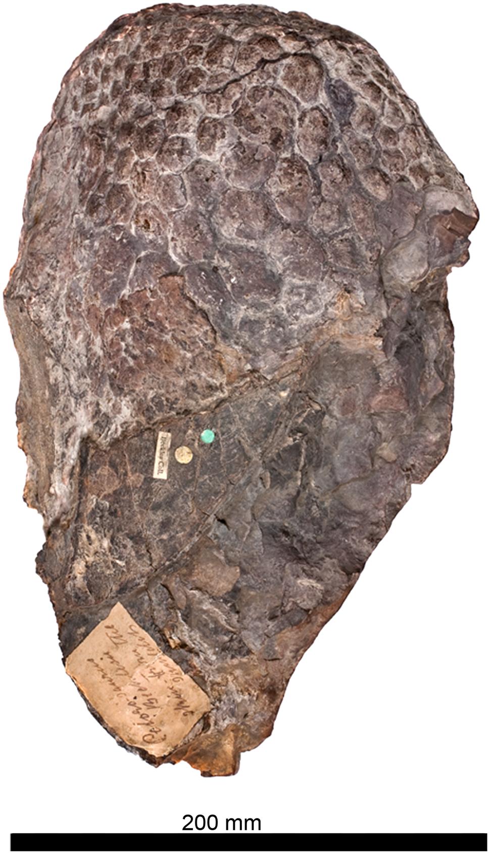 Haestasaurus skin