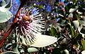 Hakea Petiolaris blossom with bee.jpg
