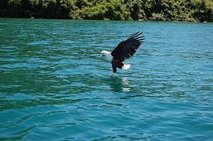 Lake Malawi - An African fish eagle catching a fish in Lake Malawi