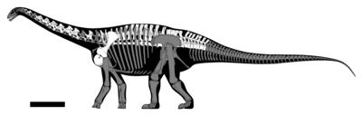 Haplocanthosaurus utterbacki skeletal.png
