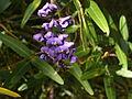 Hardenbergia comptoniana2.JPG