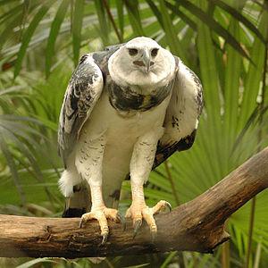 """Harpy eagle - Subadult, """"Panama"""", in Belize Zoo"""