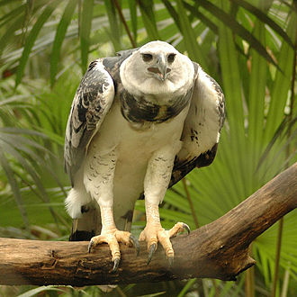 "Harpy eagle - Subadult, ""Panama"", in Belize Zoo"