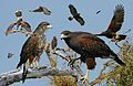 Harris Hawk From The Crossley ID Guide Eastern Birds.jpg