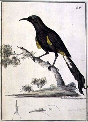 Hawaiʻi ʻōʻō - Illustration by William Ellis