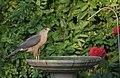 Hawk at the Birdbath (14199553601).jpg
