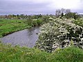 Hawthorn bushes - geograph.org.uk - 1318283.jpg