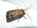 Heart and Dart Moth (Agrotis exclamationis) (8333113440).jpg