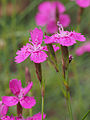 Heide-Nelke (Dianthus deltoides) (1).jpg