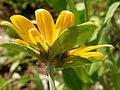 Helianthella uniflora (3483281354).jpg