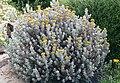 Helichrysum splendidum 2b.jpg