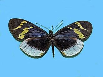 Heliconius eleuchia - Museum specimen