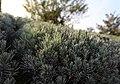Hellblauer Polster-Lavendel Blue Cushion (Lavandula angustifolia) Blumengärten Hirschstetten Wien 2014 b.jpg