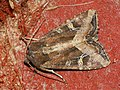 Helotropha leucostigma - The Crescent - Совка касатиковая (26258040817).jpg