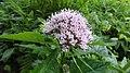 Hemp Agrimony (Eupatorium cannabinum), Lainshaw Woods, Stewarton, East Ayrshire.jpg