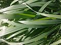 Herbes sauvages à Grez-Doiceau 001.jpg
