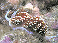 Hermissenda Nudibranch, San Clemente Island, Channel Islands, California.jpg