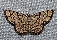 Heterostegane warreni (Geometridae- Ennominae- Cassymini) (4141397867).jpg