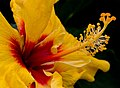 Hibiscus Yellow and Red-1+ (2557985708).jpg