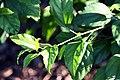 Hibiscus schizopetalus 5zz.jpg