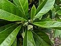 Hibiscus tozerensis, Royal Botanic Garden Sydney IMG 20190502 121720.jpg