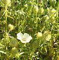 Hibiscus trionum HabitusFlowers BotGardBln0906.jpg