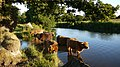 Highland cattle take an evening dip.jpg