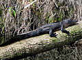 Hillsborough River Alligator.jpg