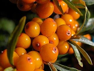 Elaeagnaceae